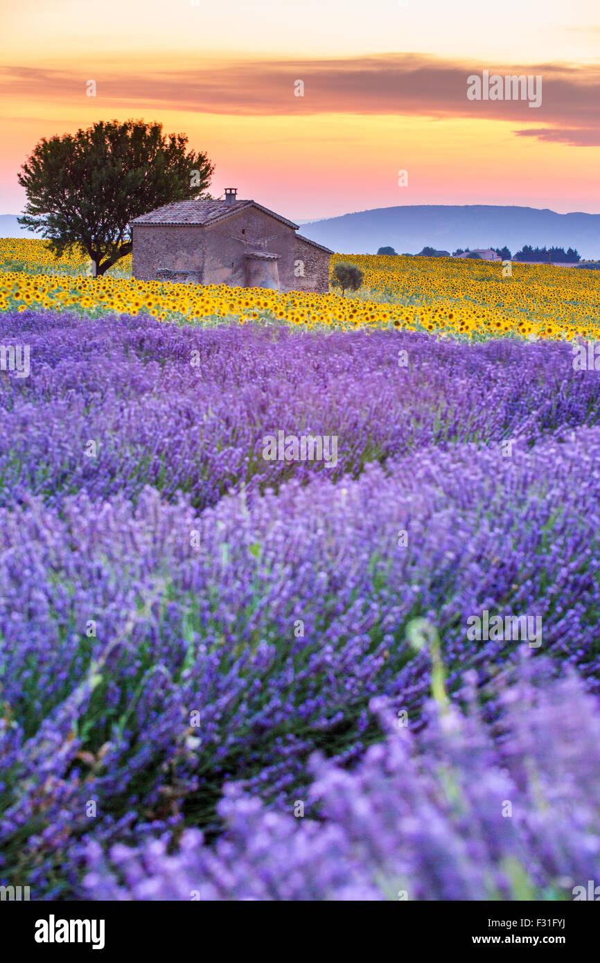 Provenza, altopiano di Valensole, campo di lavanda in fiore Immagini Stock