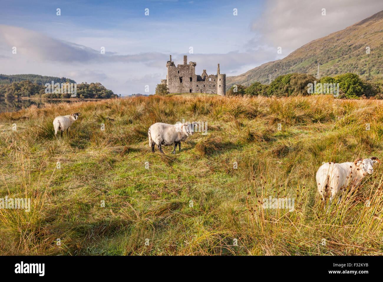 Scottish Blackface Rams a Kilchurn Castle, Argyll and Bute, Scotland, Regno Unito. Immagini Stock