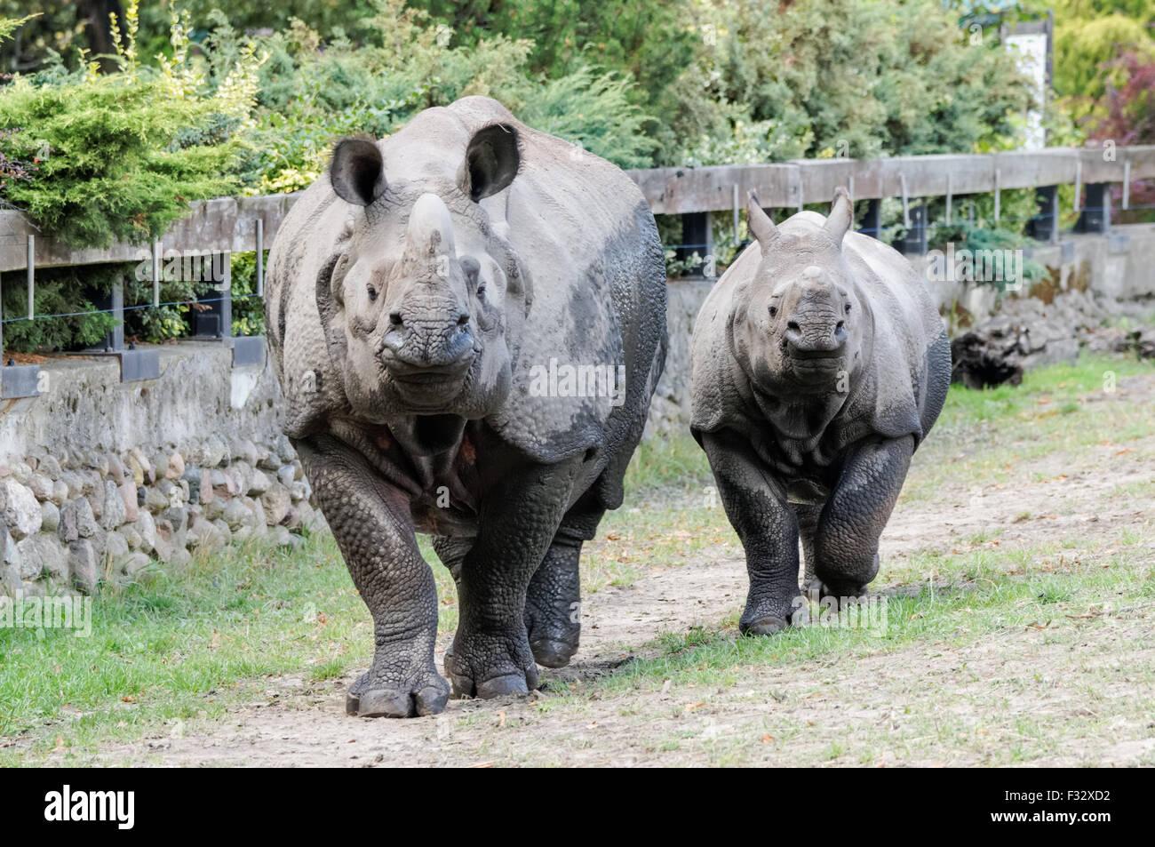 Il rinoceronte indiano (Rhinoceros unicornis) presso lo Zoo di Varsavia, Polonia Immagini Stock