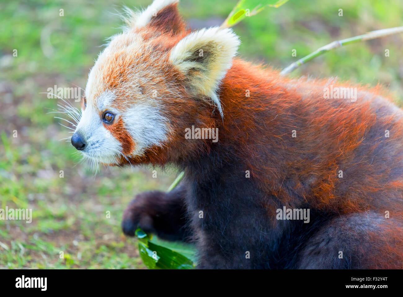 Panda rosso: molto carino panda rosso di mangiare le foglie verdi. Immagini Stock