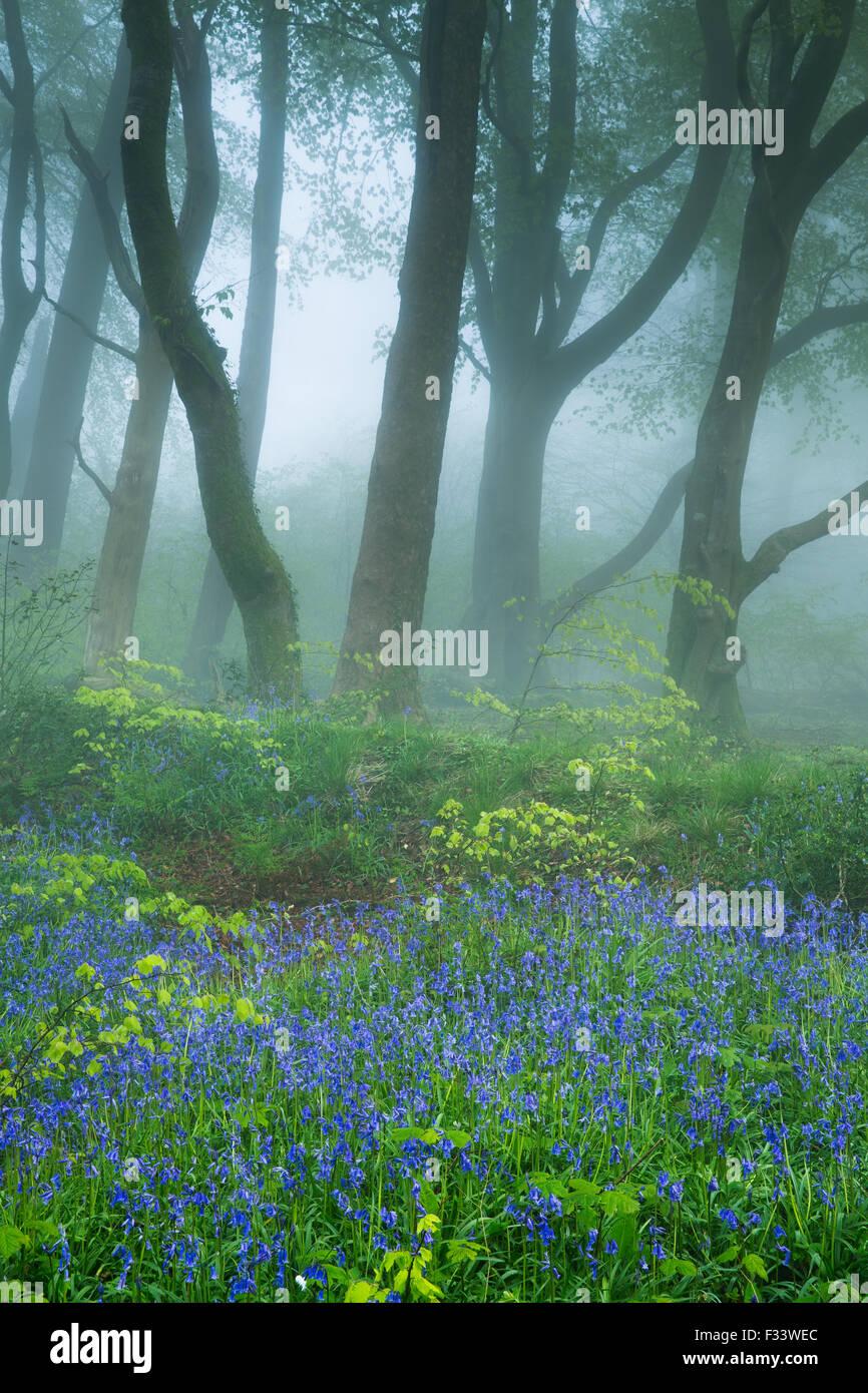 Bluebells nel Bosco nebbioso vicino Minterne Magna all'alba, Dorset, England, Regno Unito Immagini Stock