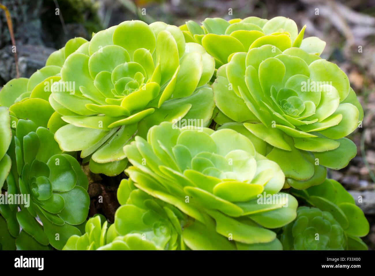 Rosette di gara arbusto succulenti Aeonium arboreum Immagini Stock