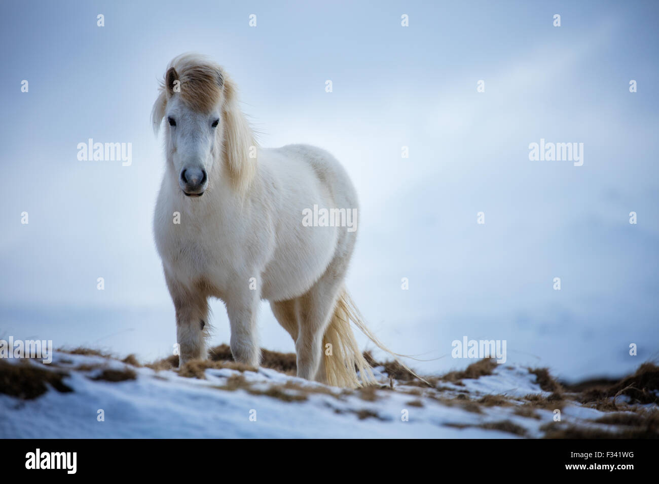 Un cavallo nr Helgafell, Penisola Snaefellsness, Islanda Immagini Stock