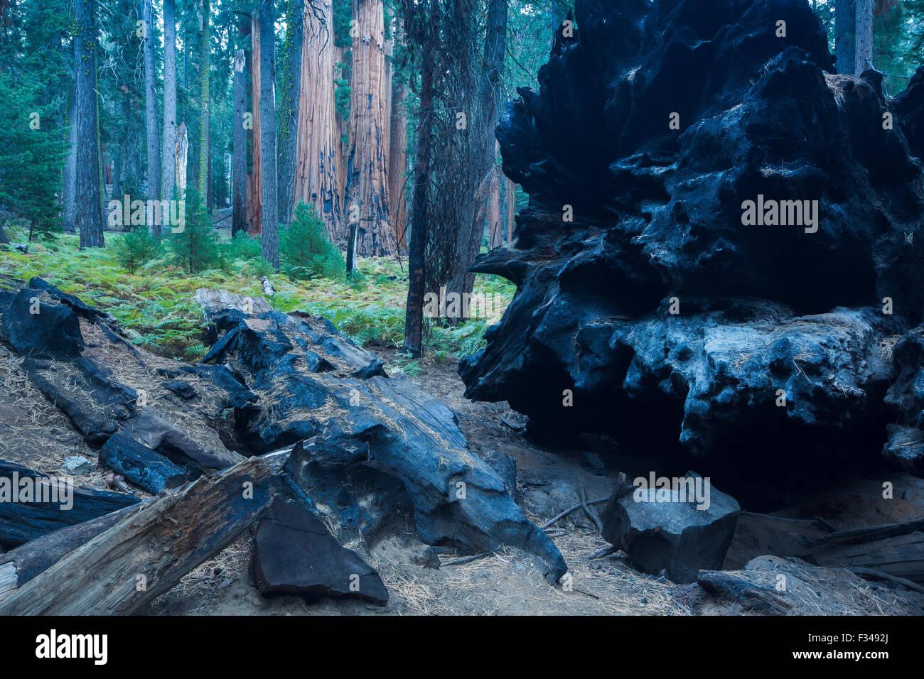 Caduta di una sequoia gigante, albero di Sequoia National Park, California, Stati Uniti d'America Immagini Stock