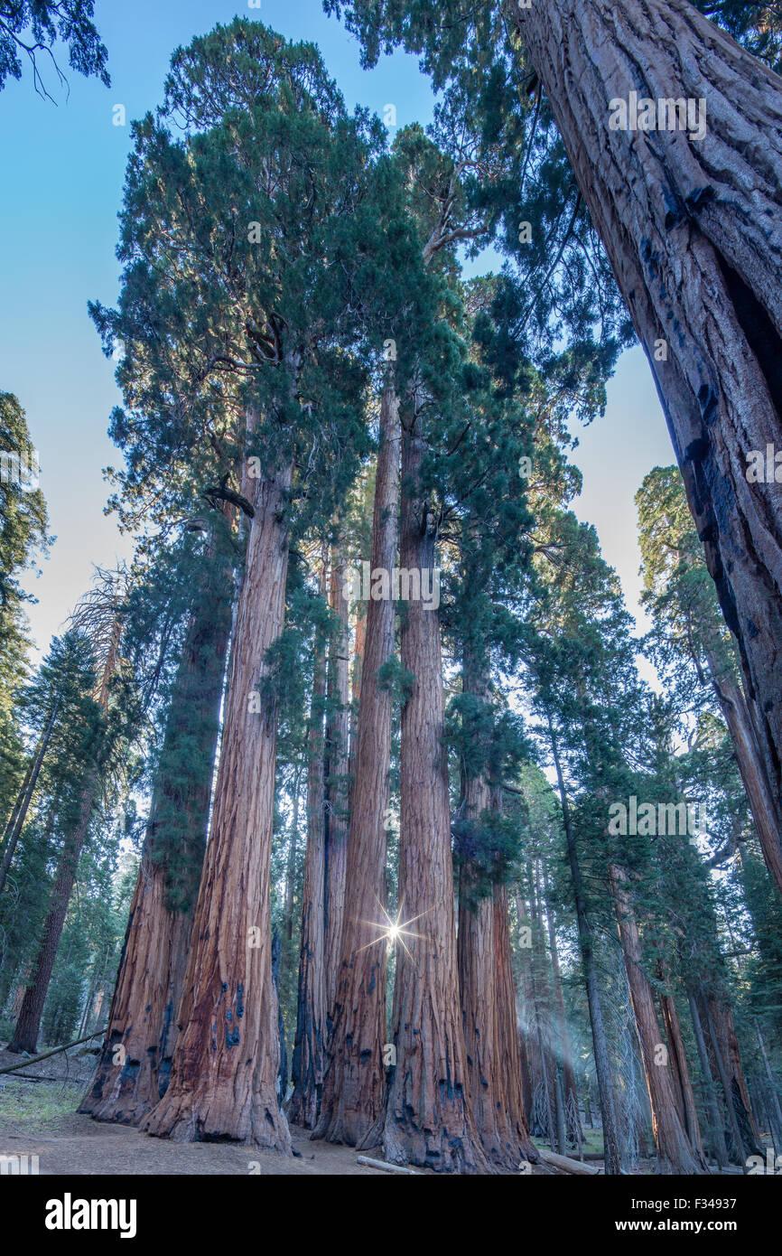 Il gruppo del Senato di giganteschi alberi di sequoia sul Congresso Trail nel Parco Nazionale di Sequoia, CALIFORNIA, Immagini Stock