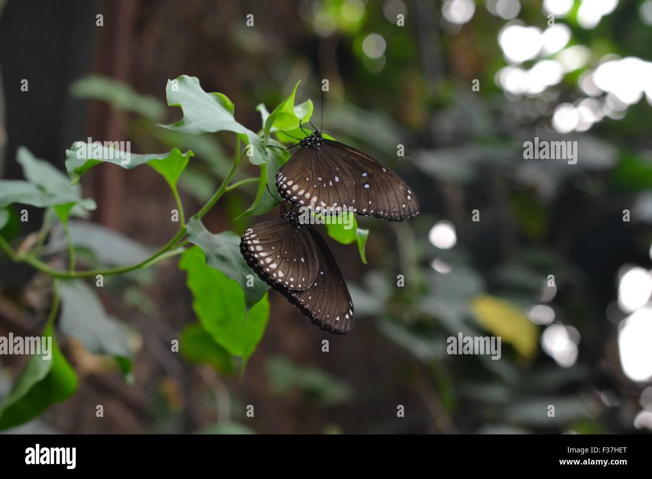 Due comuni crow farfalle Immagini Stock