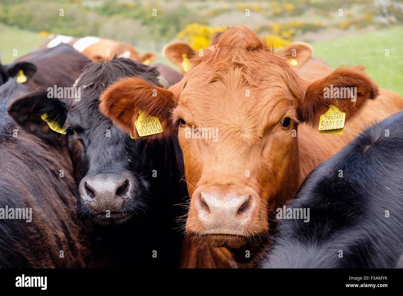 Curioso giovani tori Bos taurus (bovini) con giallo di marchi auricolari in una fattoria. Il Galles, Regno Unito, Immagini Stock