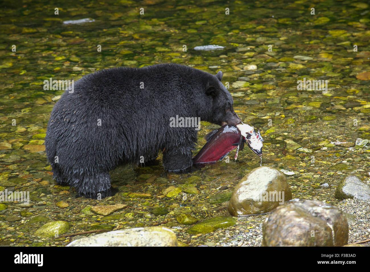 Black Bear (Ursus americanus) mangiare salmone, Thornton Fish Hatchery, Ucluelet, British Columbia, Canada Immagini Stock