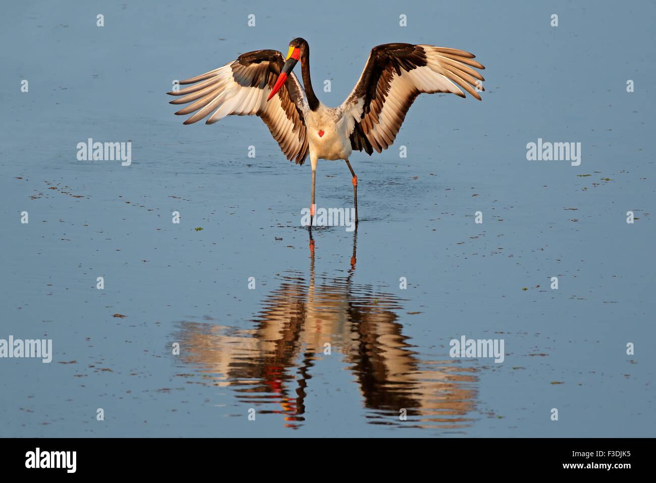 Sella da cavallo-fatturati stork (Ephippiorhynchus senegalensis), Kruger National Park, Sud Africa Immagini Stock
