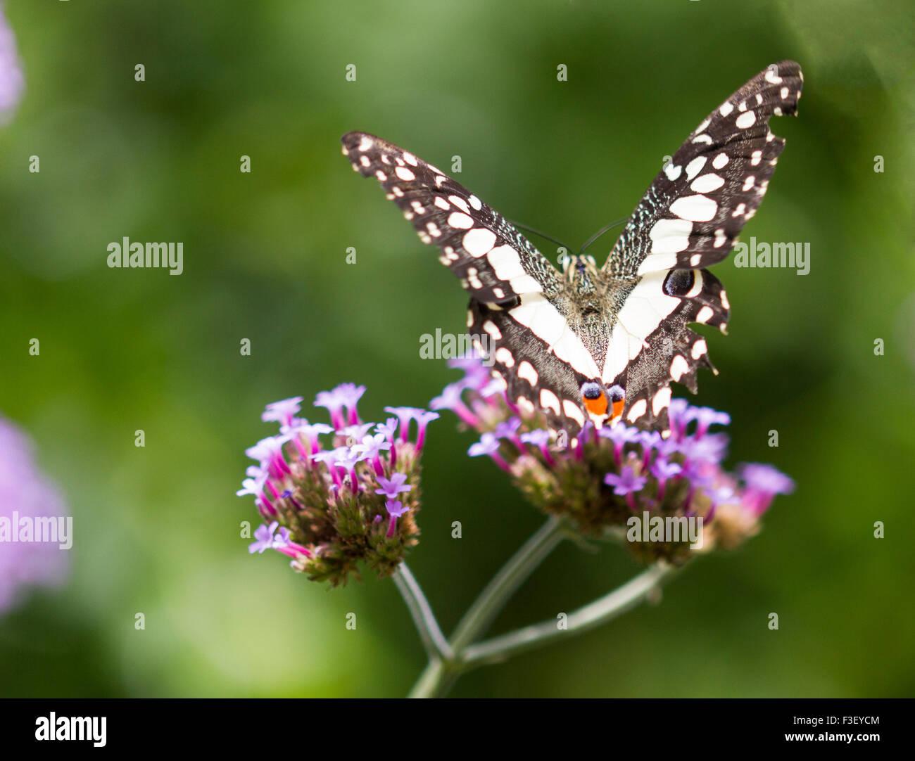 Lime o a coda di rondine a scacchi Papilio Demoleus Immagini Stock