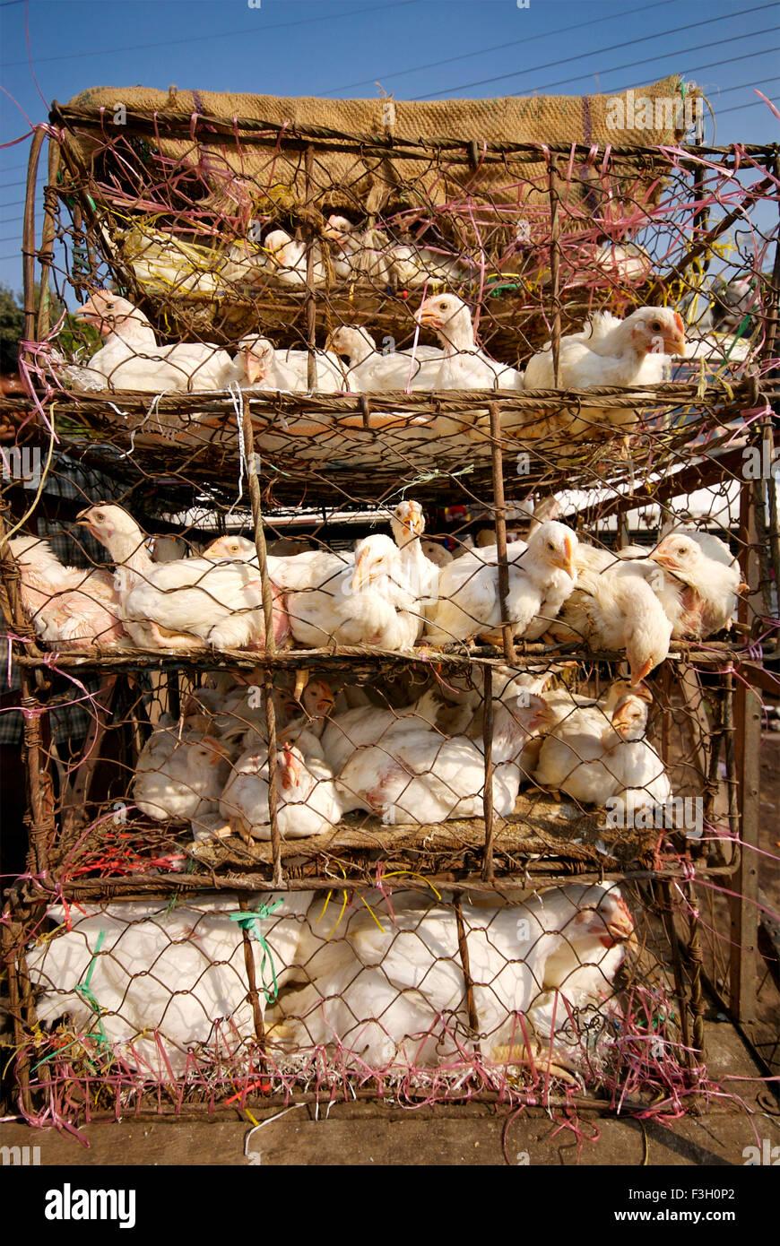 Pollo di bestiame trasportato in risciò ciclo ; Jabalpur ; Madhya Pradesh ; India Immagini Stock