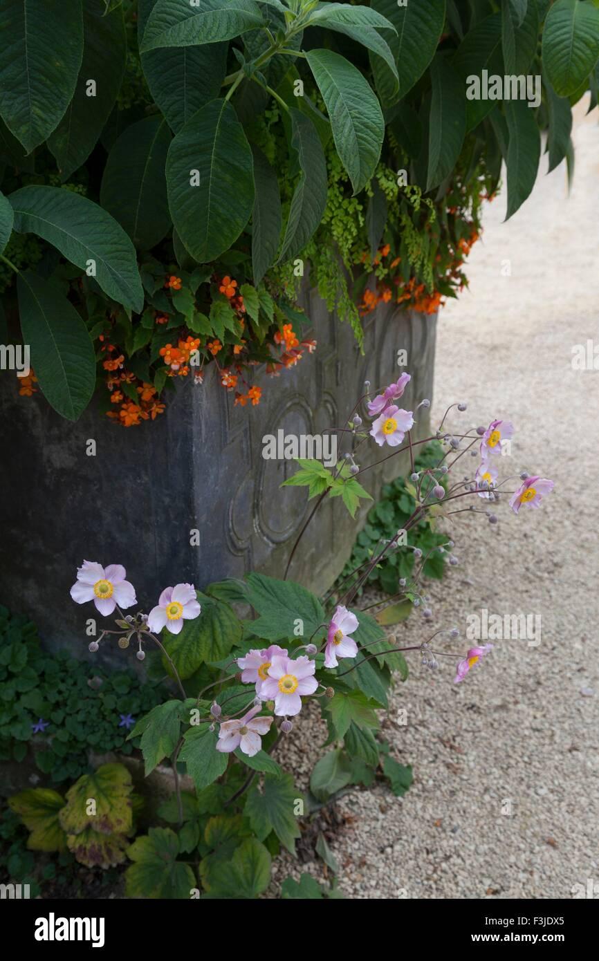 Anemoni crescente da piombo piantatrice, Inghilterra. Immagini Stock