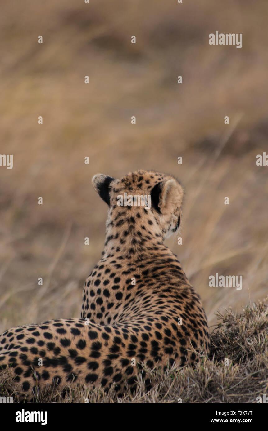 Vista posteriore di un ghepardo, Acinonyx jubatus, sdraiato, in cerca di preda, il Masai Mara riserva nazionale, Immagini Stock