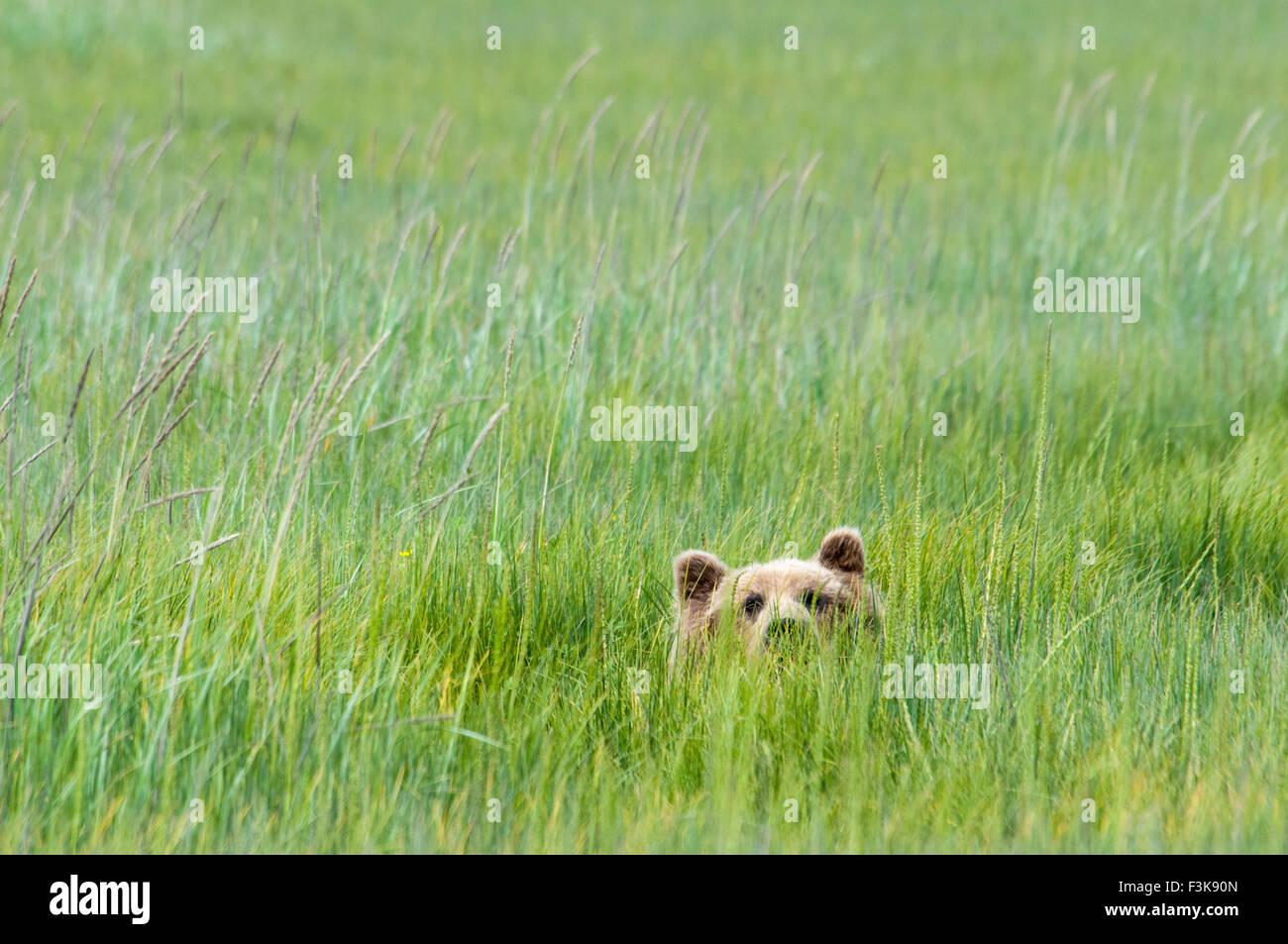 Adulto Orso grizzly, Ursus arctos, spiata da carici verde erba, il Parco Nazionale del Lago Clark, Alaska, STATI Immagini Stock