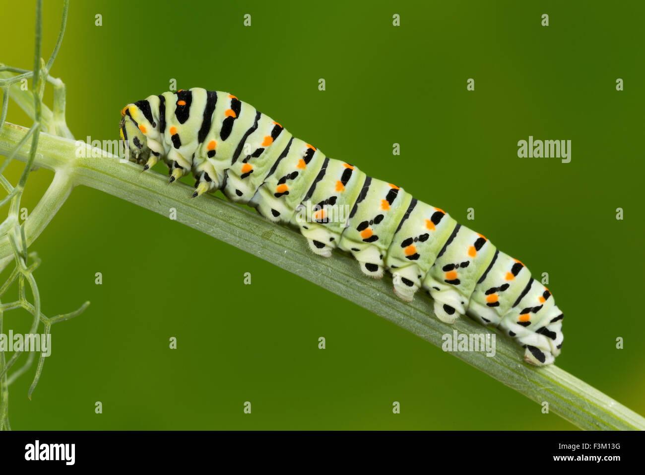 Caterpillar del Maltese a coda di rondine a farfalla per mangiare le foglie di finocchio, dieci giorni dopo la schiusa, Immagini Stock