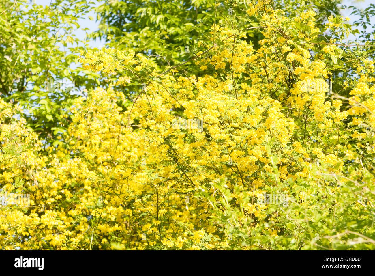 Arbusto A Fiori Gialli arbusto con molti fiori gialli giallo acacia, nome latino