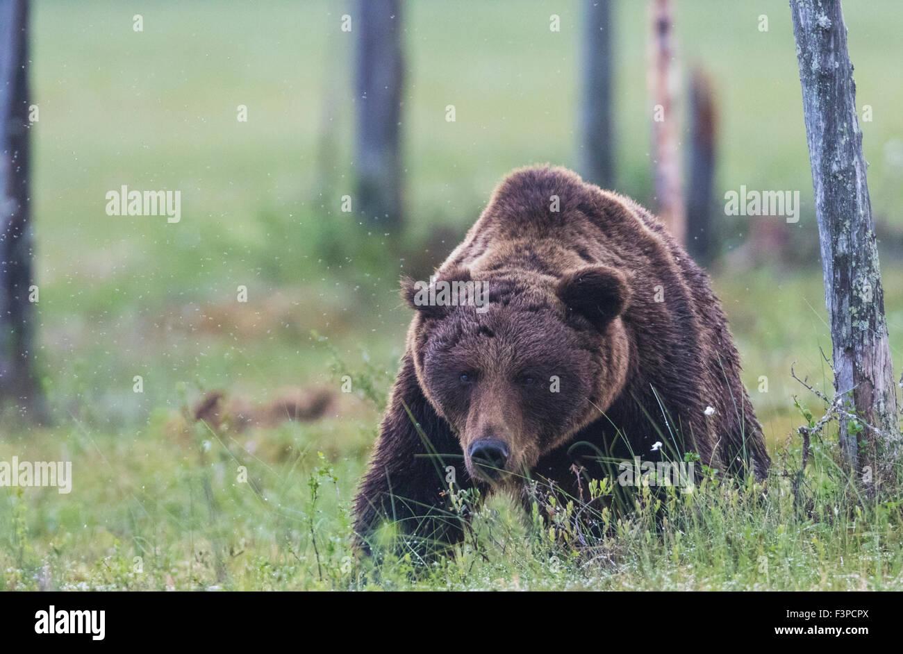 Orso bruno Ursus arctos, camminando su un muschio verso la telecamera, abbassando la sua testa e guardando dritto Immagini Stock