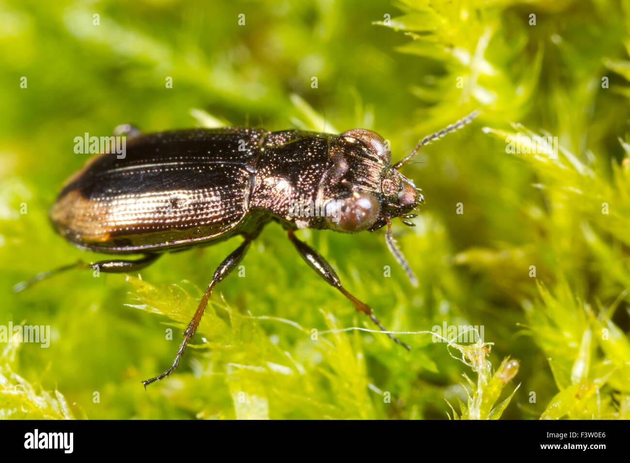 Big-eyed massa di bronzo-beetle (Notiophilus biguttatus) tra il muschio. Powys, Galles. Maggio. Immagini Stock