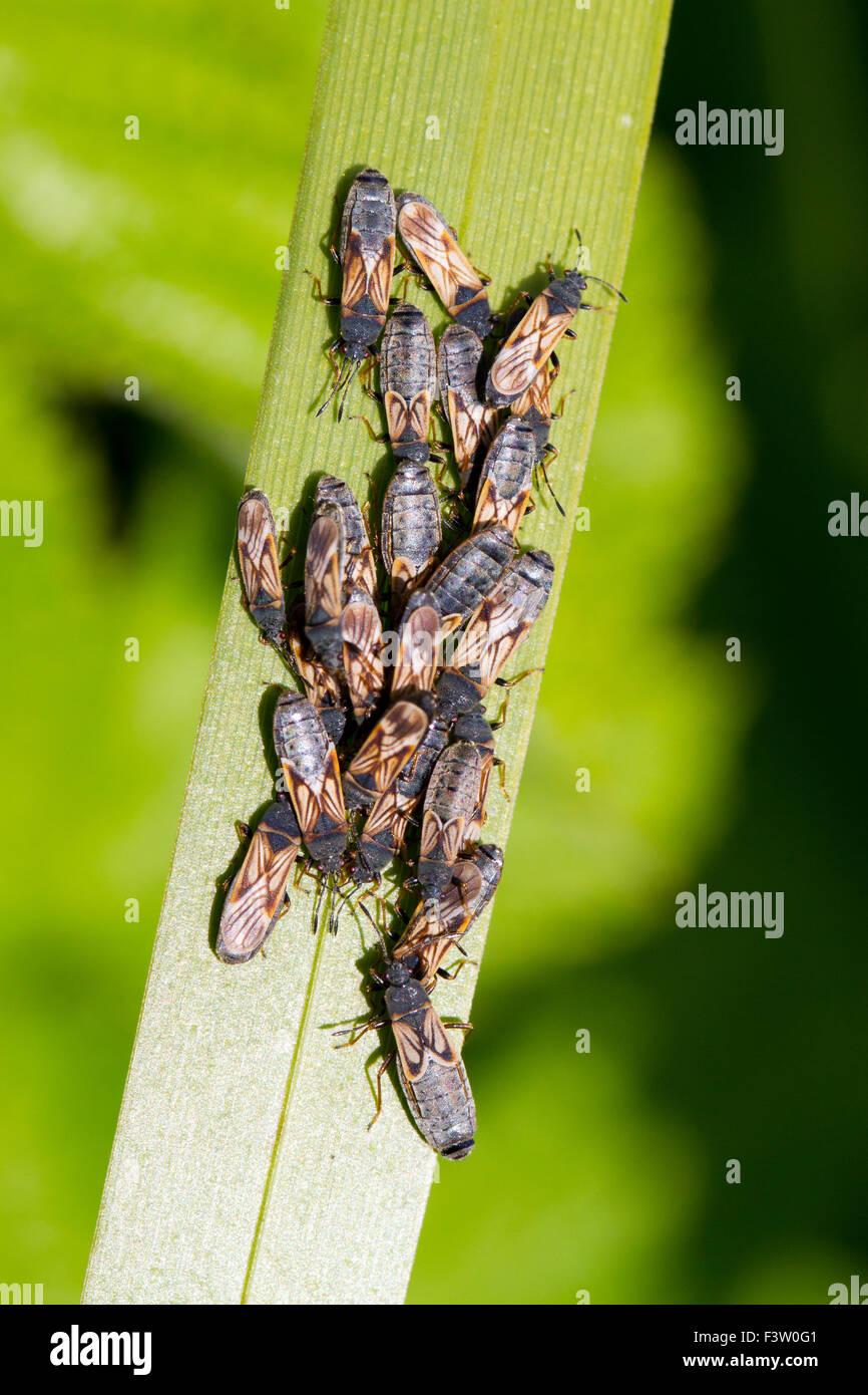 Chinchbug europea (Ischnodemus sabuleti) cluster di insetti adulti su una foglia di giunco. Powys, Galles. Maggio. Immagini Stock