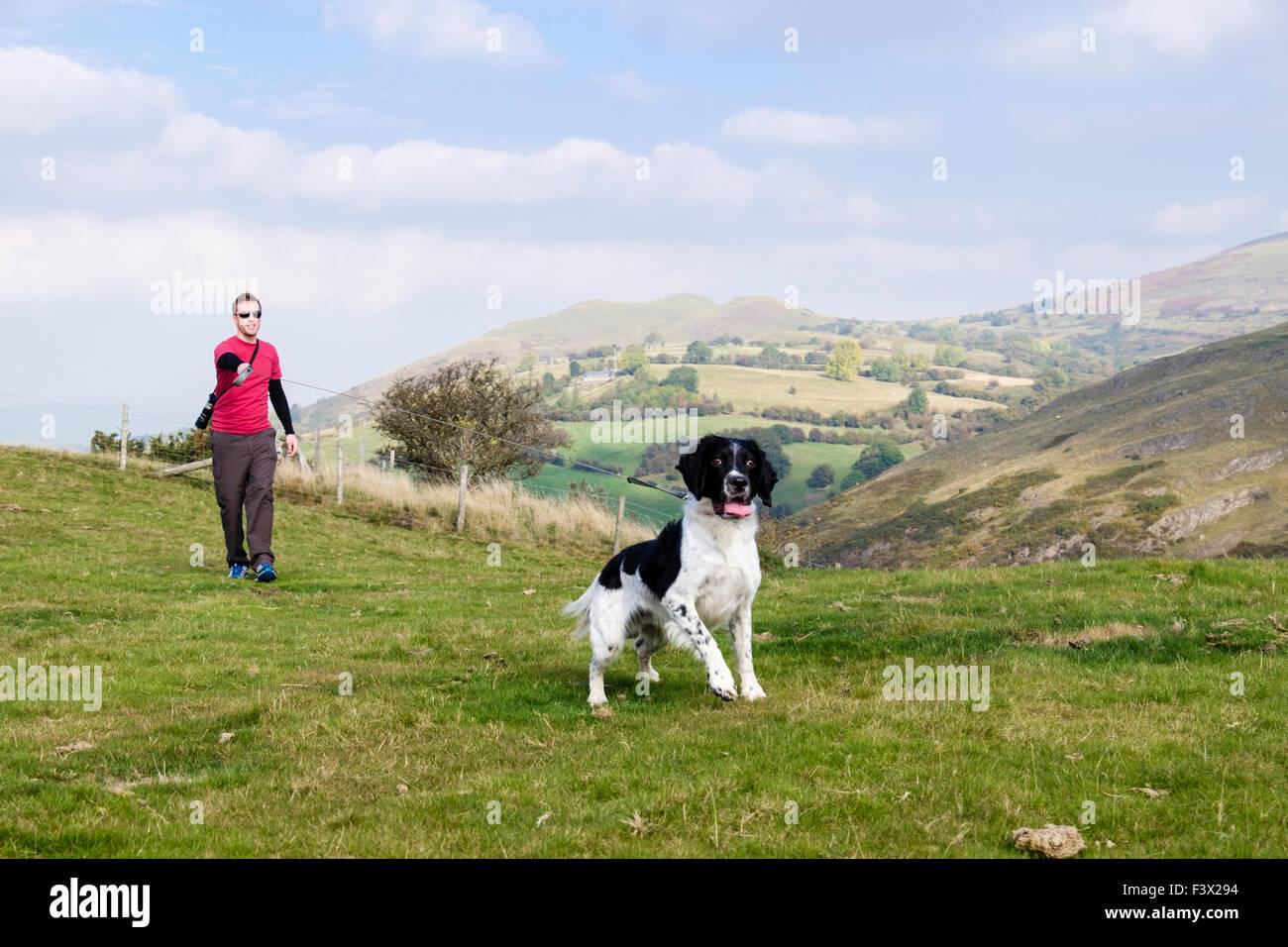 Desiderosi English Springer Spaniel cane tirando il filo quando il padrone che lui per una passeggiata in campagna. Immagini Stock