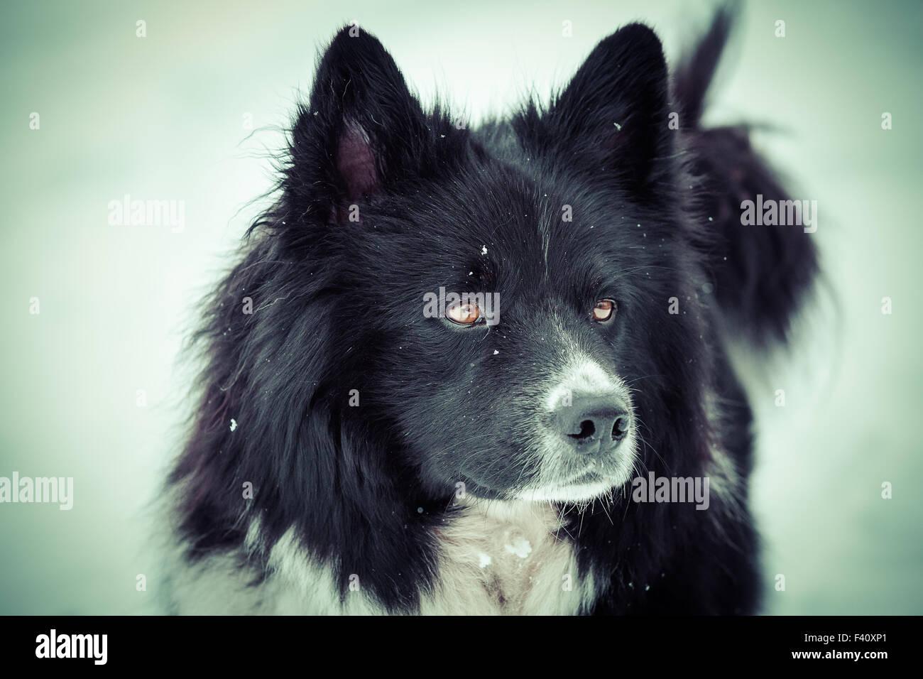 Eurasian radiante occhi Immagini Stock