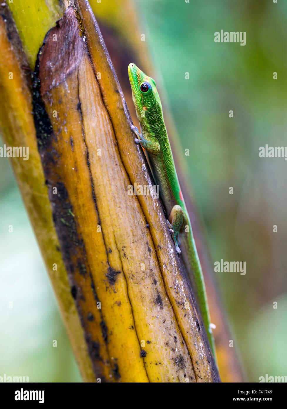 Madagascar giorno gecko; Phelsuma madagascariensis madagascariensis; Hawai'i Tropicale Giardino Botanico Nature Immagini Stock