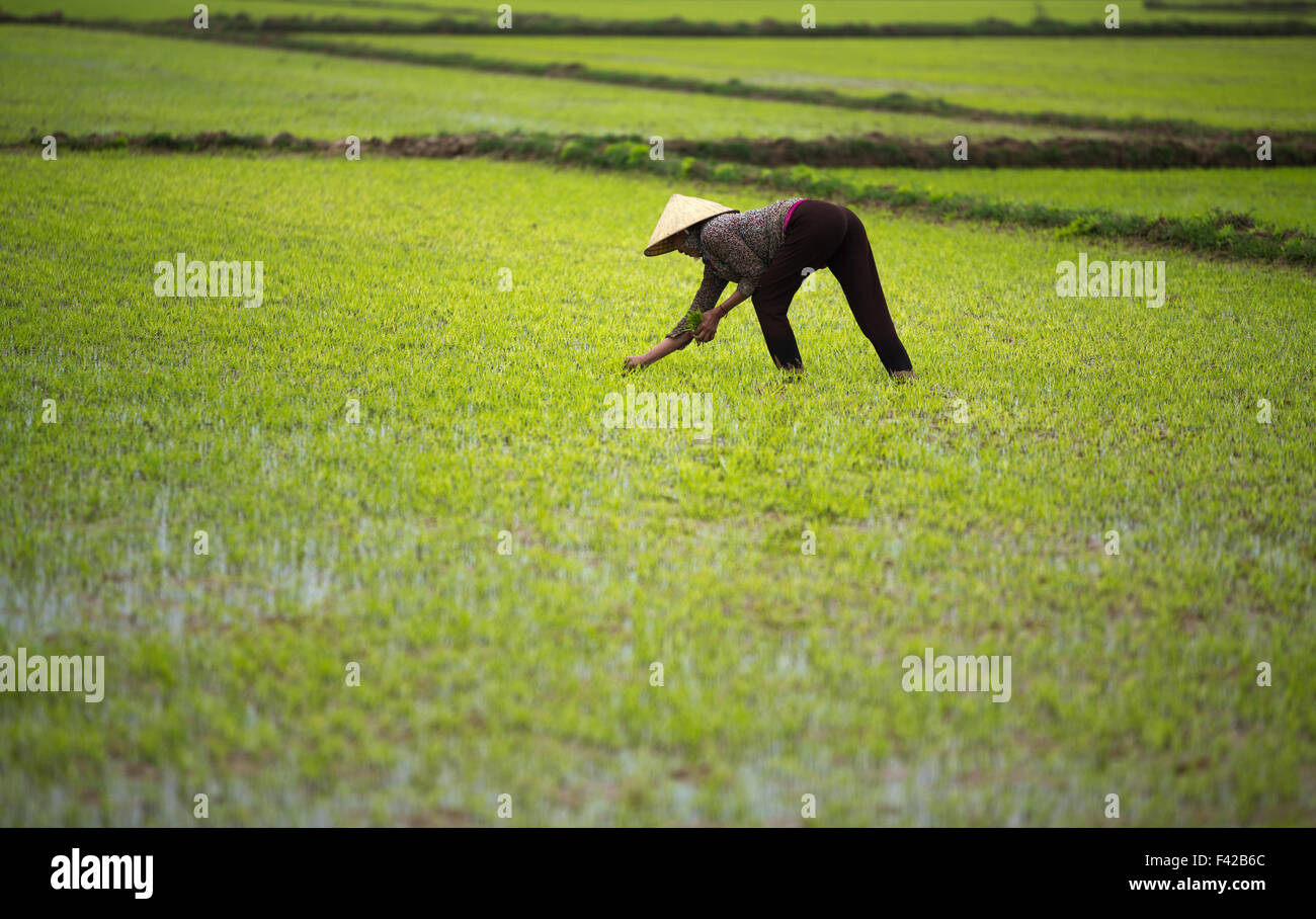 Una donna di aratura di risone nr Phong Nha, Quảng Bình Provincia, Vietnam Immagini Stock