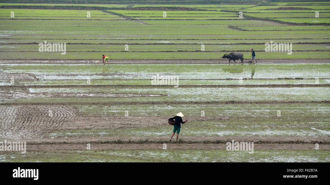 Aratura di risone nr Phong Nha, Quảng Bình Provincia, Vietnam Immagini Stock
