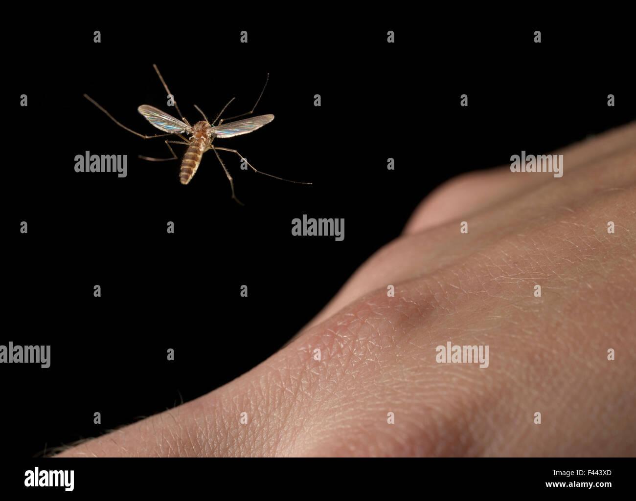 Mosquito volando sopra una mano umana Immagini Stock