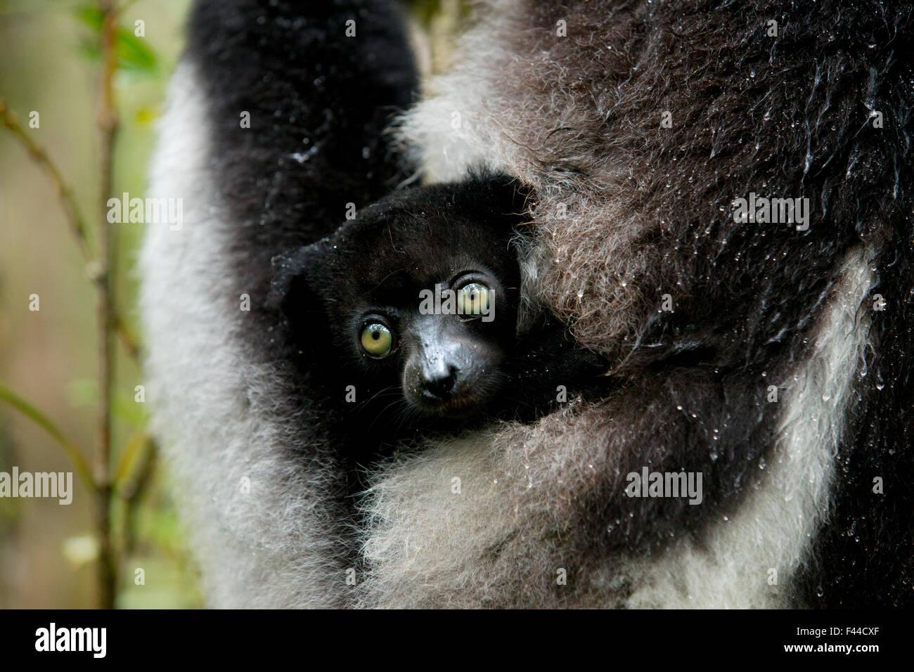 (Indri Indri Indri Indri) due mese baby nella madre di braccio. Madagascar. Immagini Stock