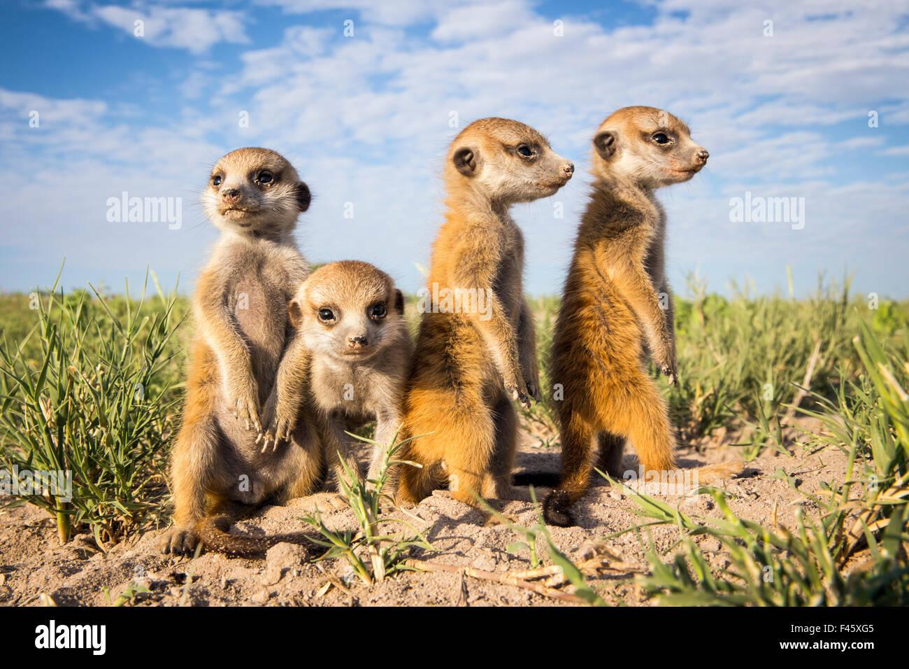 Meerkat (Suricata suricatta) gruppo di bambini, Makgadikgadi pentole, il Botswana. Immagini Stock