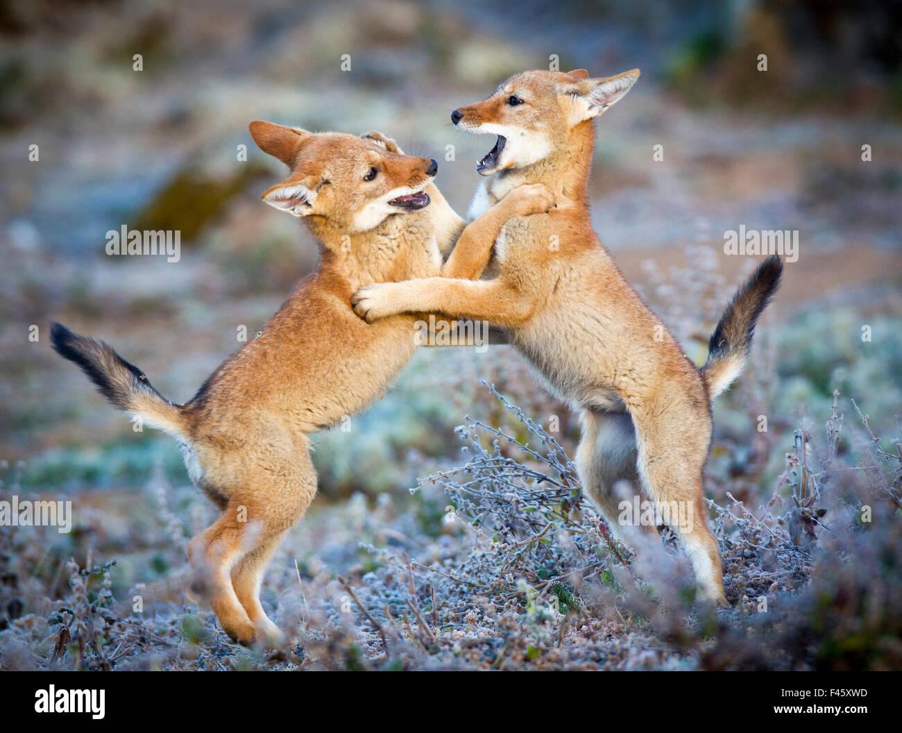 Etiope Lupo (Canis simensis) cinque mese cubs giocando, Bale Mountains National Park, Etiopia. Immagini Stock