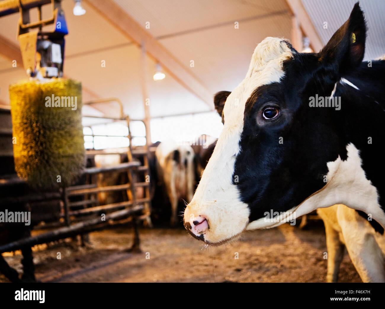 Una mucca in un granaio, Svezia. Immagini Stock
