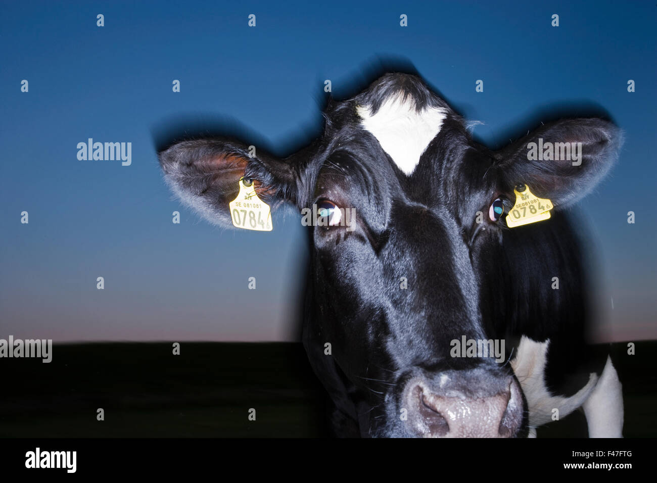 Ritratto di una mucca, Svezia. Immagini Stock