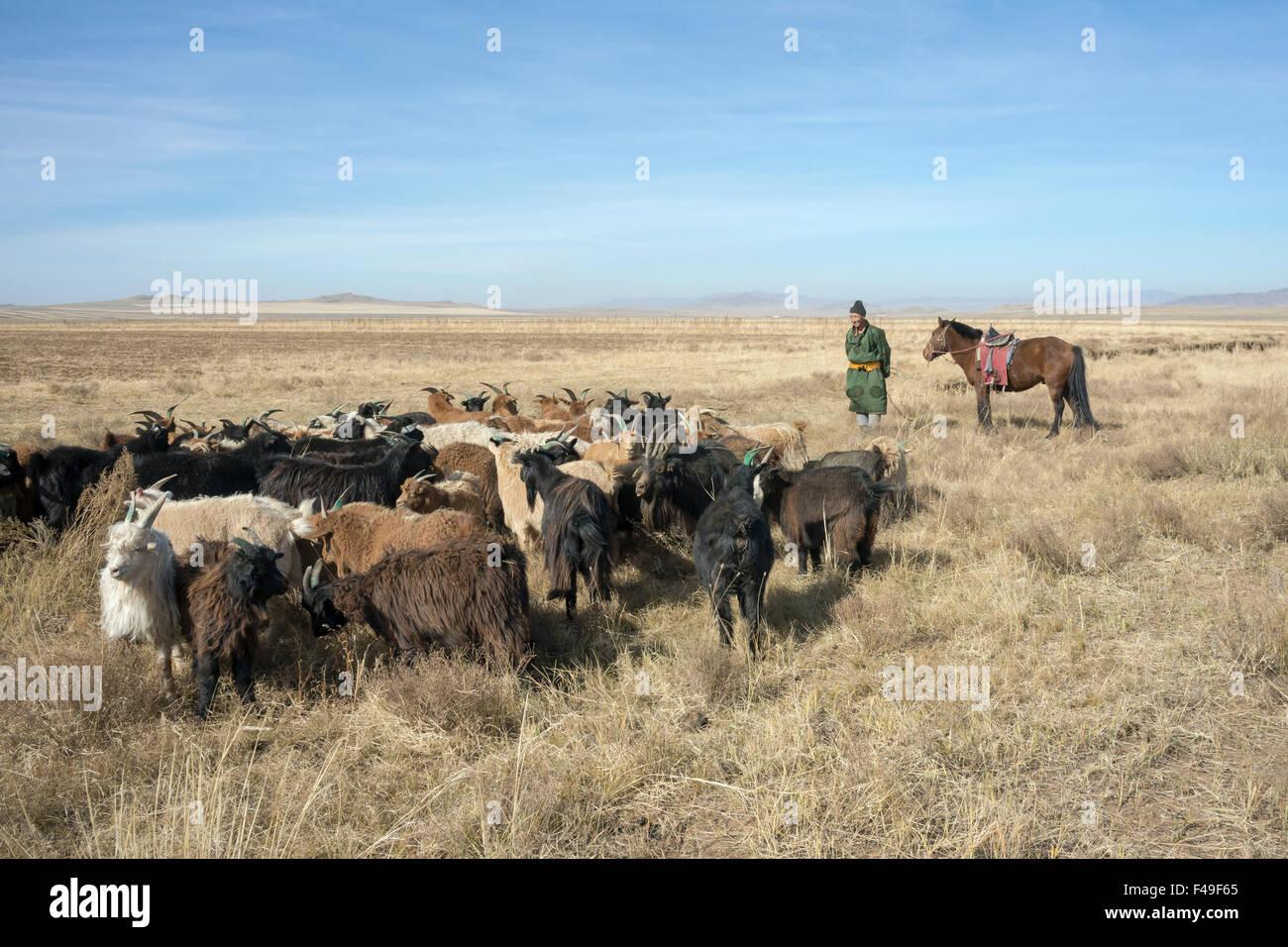 Guardando oltre il gregge, Mongolia herder, cavallo e capre cashmere, vicino Hustai National Park, Mongolia Immagini Stock