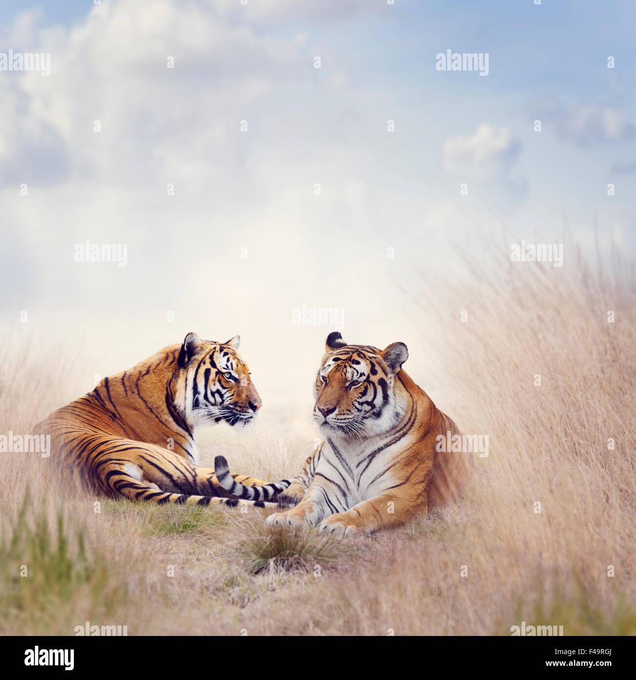 Due tigri di riposo in erba alta Immagini Stock