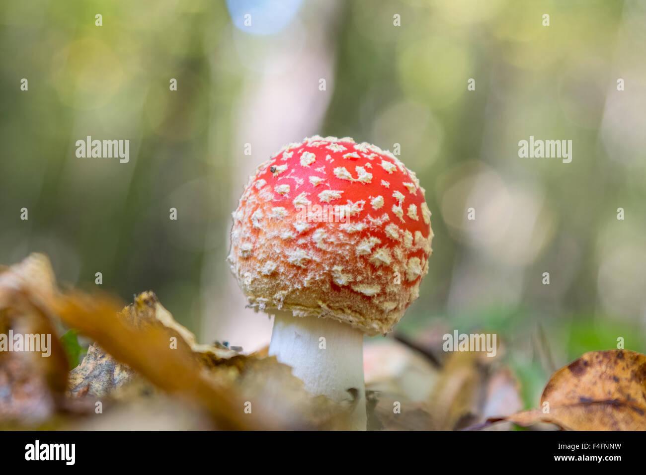 Fungo Amanita nella foresta Foto Stock