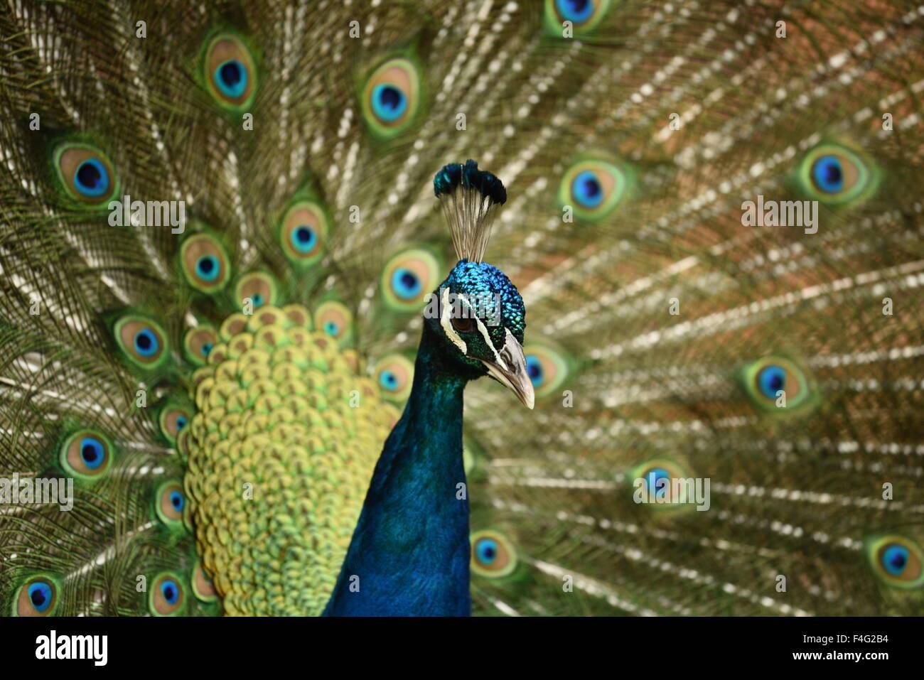 uccello del pavone Immagini Stock