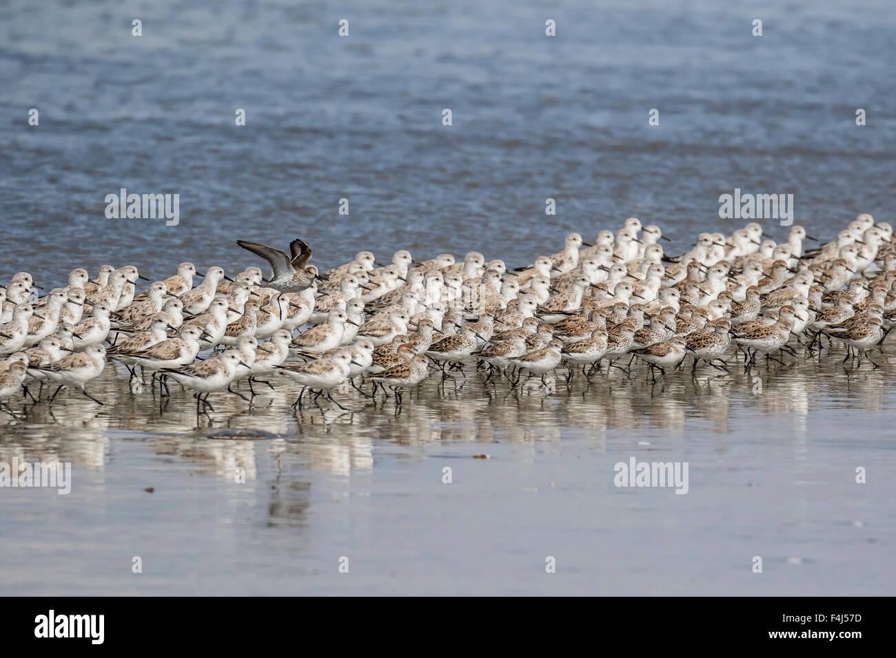 Un gregge di migrazione sanderlings (Calidris alba), il Sand Dollar Beach, Baja California Sur, Messico, America Immagini Stock