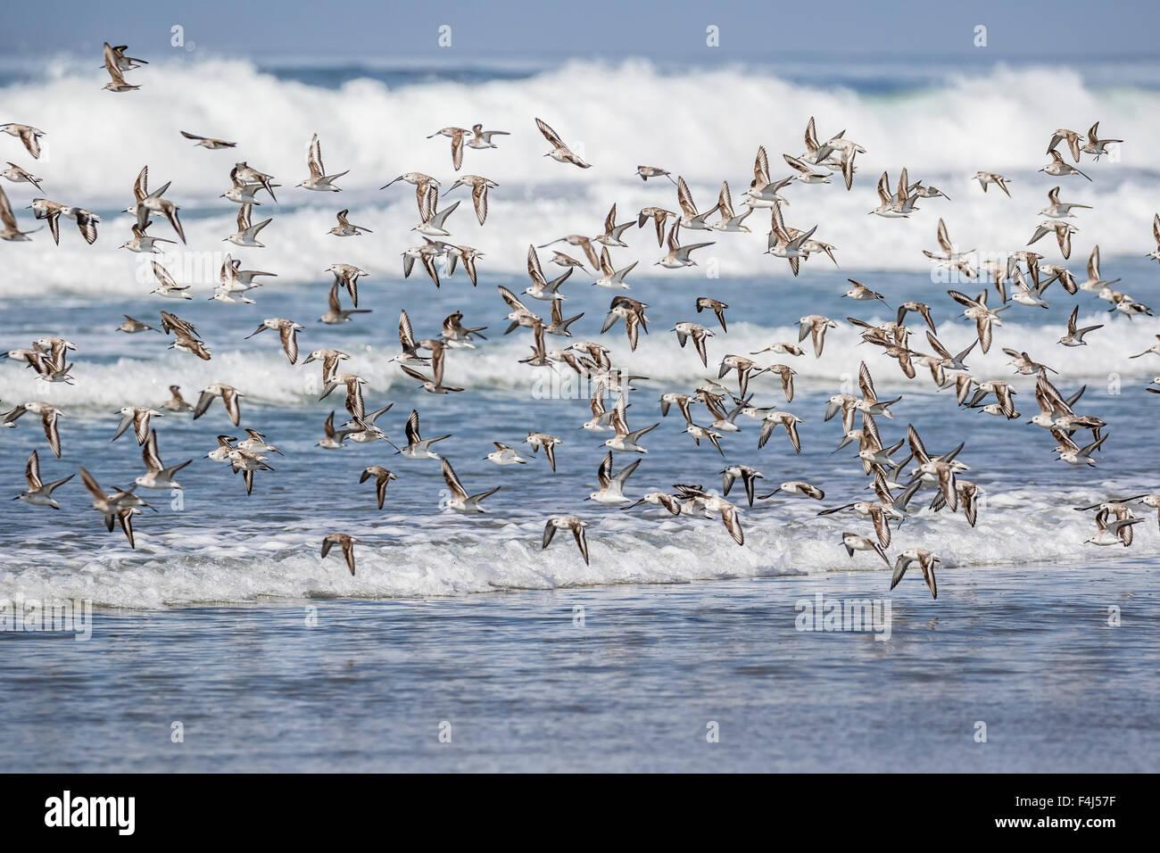 Un gregge di migrazione sanderlings (Calidris alba) prendere il volo su Sand Dollar Beach, Baja California Sur, Immagini Stock