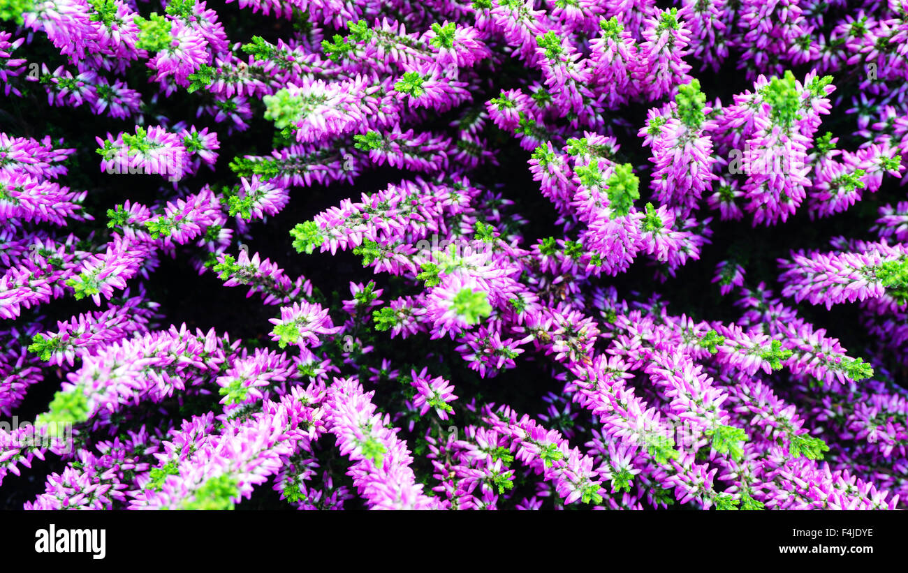 Fiori viola e verde accent in giardino Immagini Stock