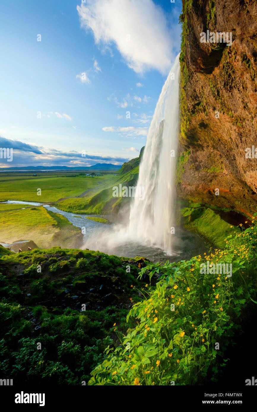 Renoncules accanto a 60m-alta cascata Seljalandsfoss, Sudhurland, Islanda. Immagini Stock