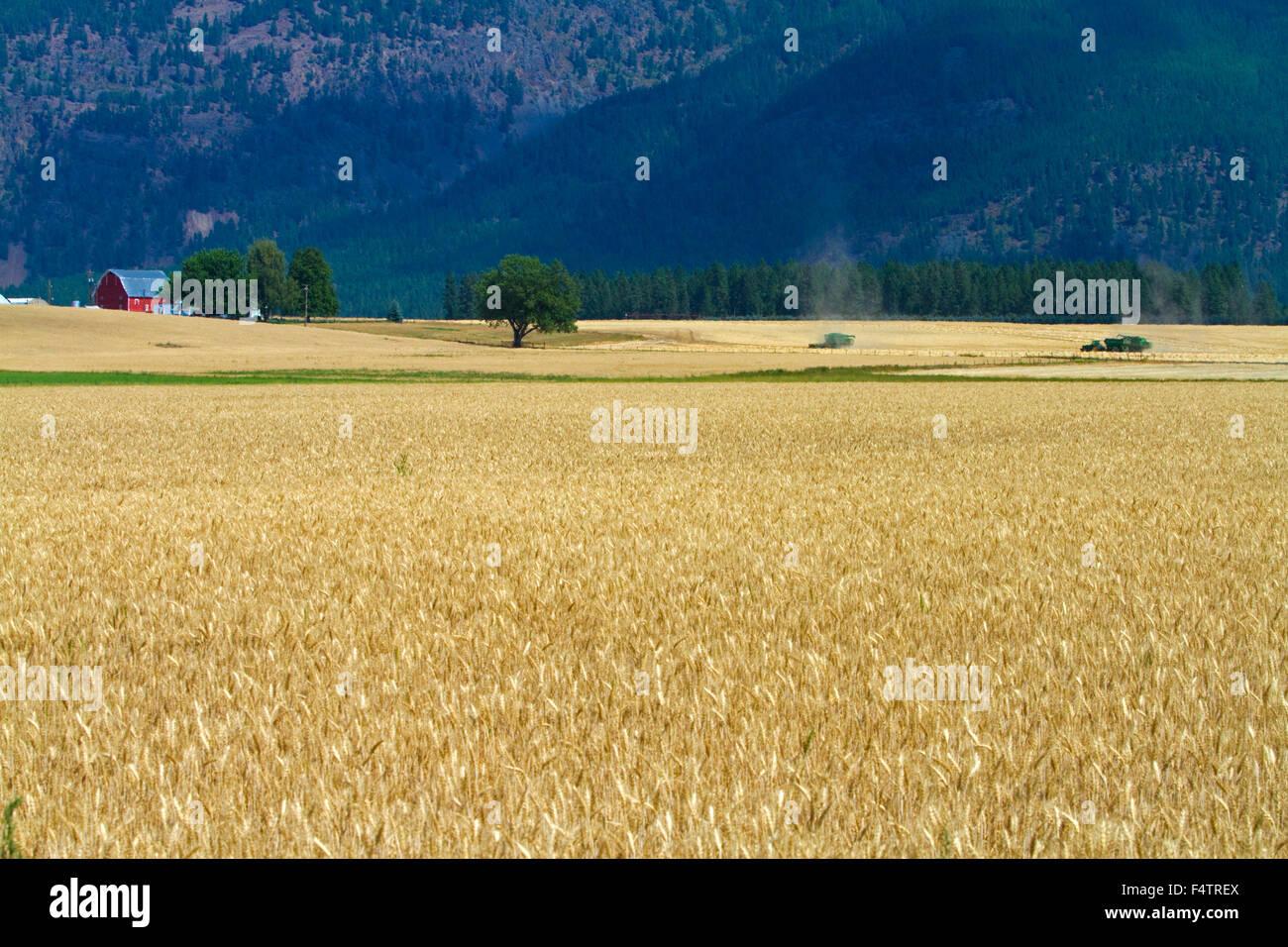 Mature campo di grano vicino a Kalispell, Montana, USA. Immagini Stock