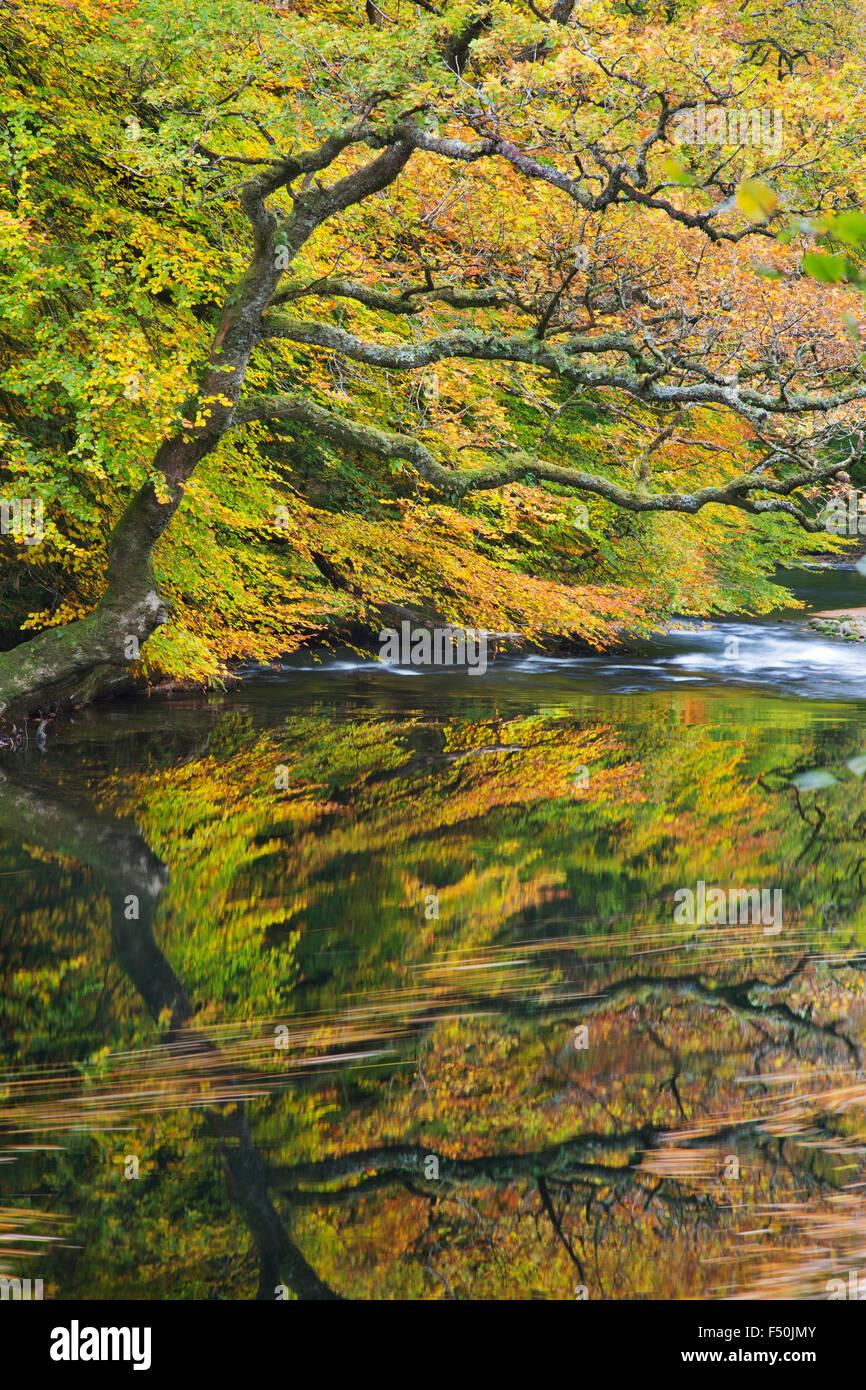 Il fiume Dart in boschi Hembury, Devon, Regno Unito Immagini Stock