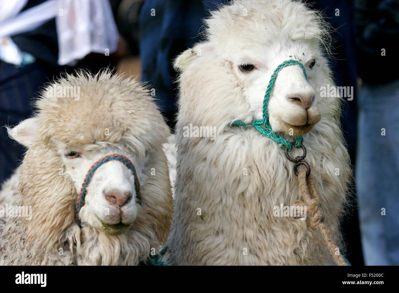 Llama in vendita al mercato di Otavalo, Ecuador, Sud America Immagini Stock