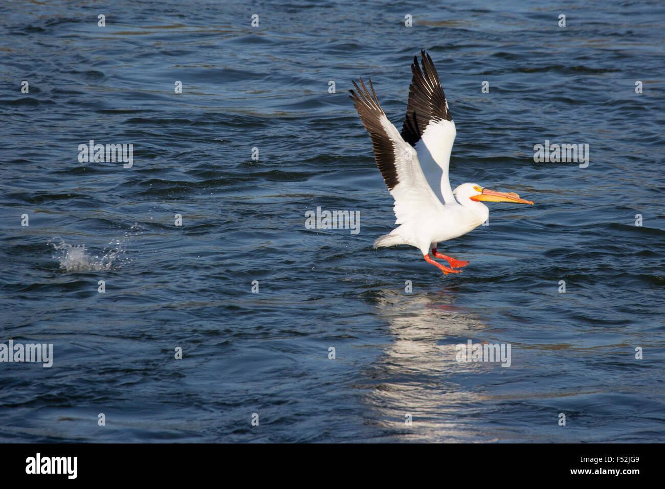 Americano bianco Pellicano (Pelecanus erythrorhynchos) prendendo il largo dal Fiume Saskatchewan Immagini Stock