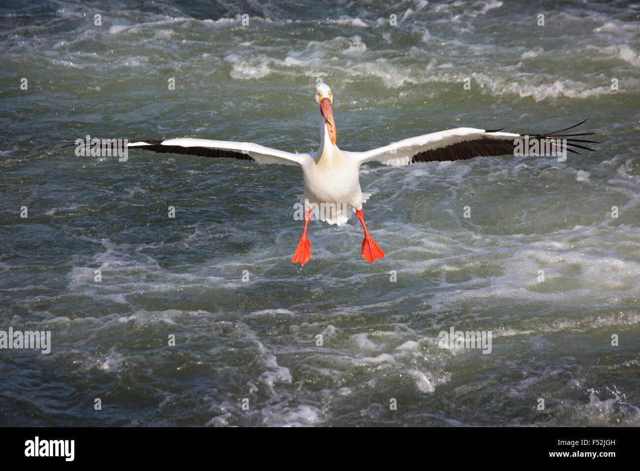 Americano bianco Pellicano (Pelecanus erythrorhynchos) lo sbarco sul Fiume Saskatchewan Immagini Stock