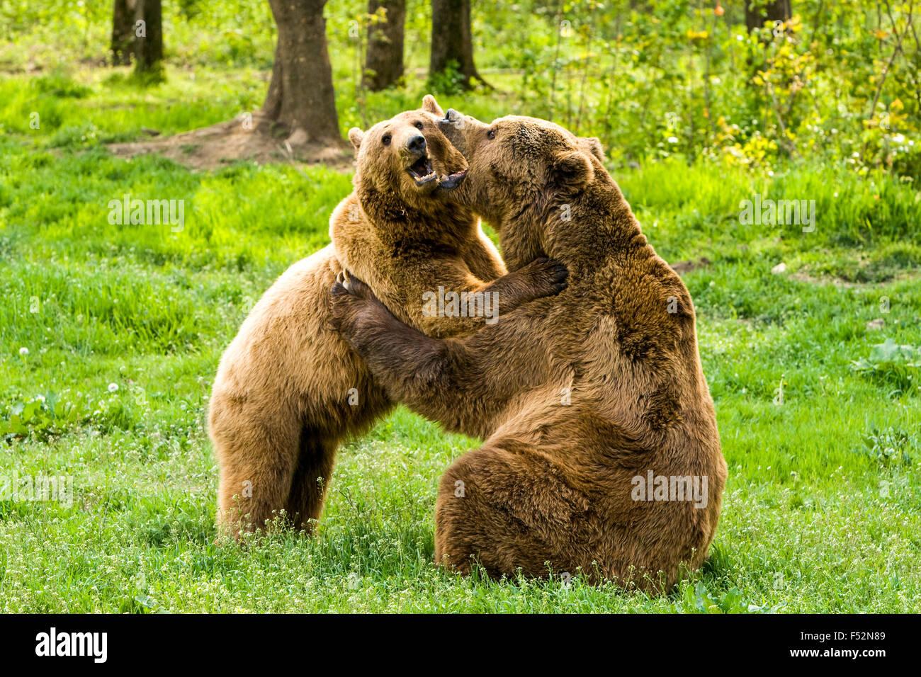 Orso selvatico abbracciando medie teleobiettivi maniglia Immagini Stock