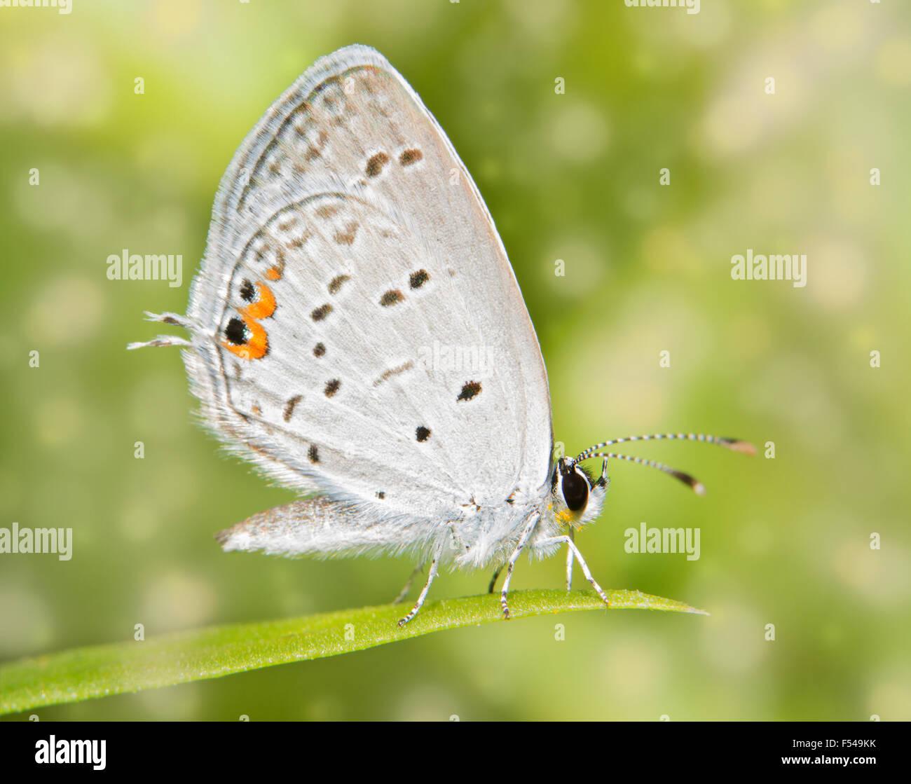 Immagine da sogno di un minuscolo Eastern Tailed Blue Butterfly in appoggio su una paletta di erba Foto Stock