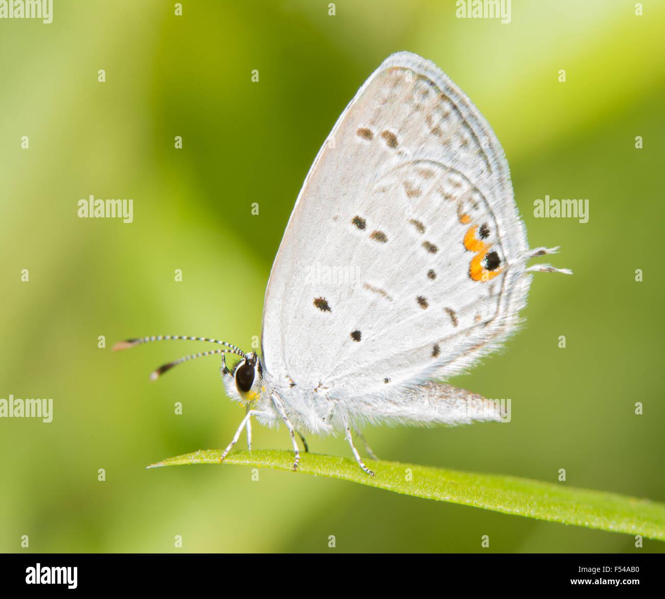 Diminutivo Eastern Tailed Blue Butterfly in appoggio su una paletta di erba contro estate sfondo verde Foto Stock